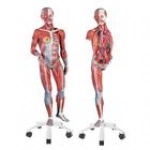 Mô hình giải phẫu toàn thân lớn 1/2 kích thước thật gồm 45 phần